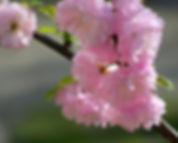 (сакура) вишня железистая 1.jpg