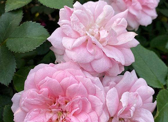 Роза  Prairie Joy