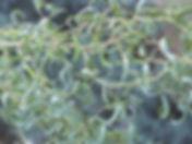 5 Ива извилистая.jpg