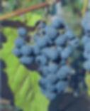 виноград амурский.JPG