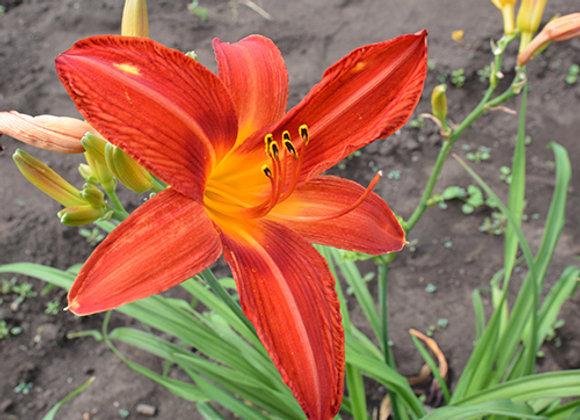 Лилейник оранжевый низкий