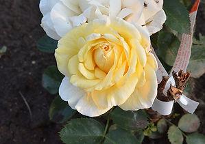 3 Роза J.P. Connel.jpg