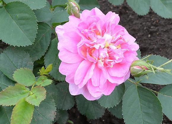 Роза розовая Коми