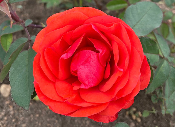 Роза  Morden Fireglow