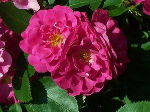 3 Роза John Cabot.jpg