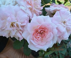 3 Роза Моден Блаш.jpg