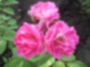 3 Роза  Вековая.jpg