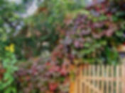 девичий виноград.jpg