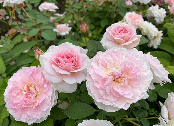 Роза Morden Blash