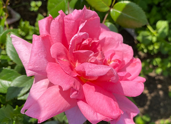 Роза Lambert Closse