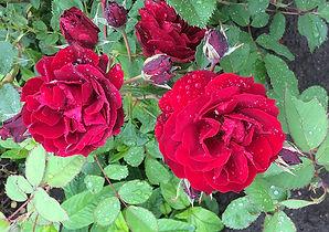 3 Роза Хоуп фо хьюманити.jpg