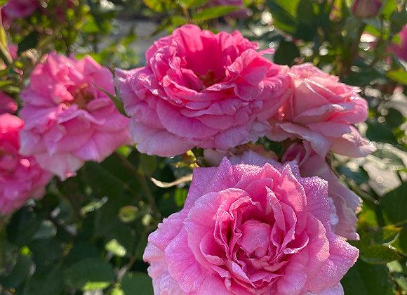 Роза Morden Centennial
