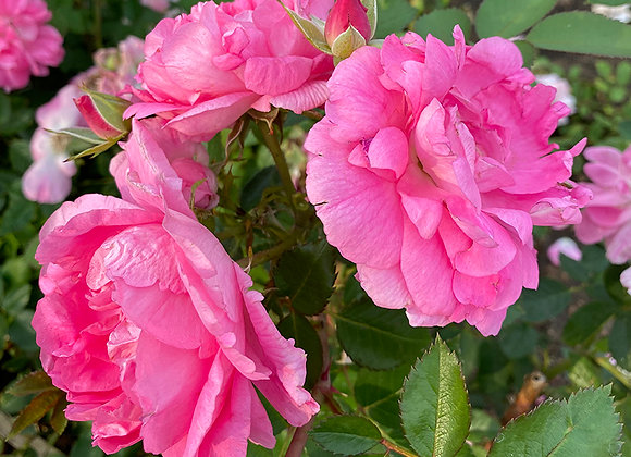 Роза Вековая