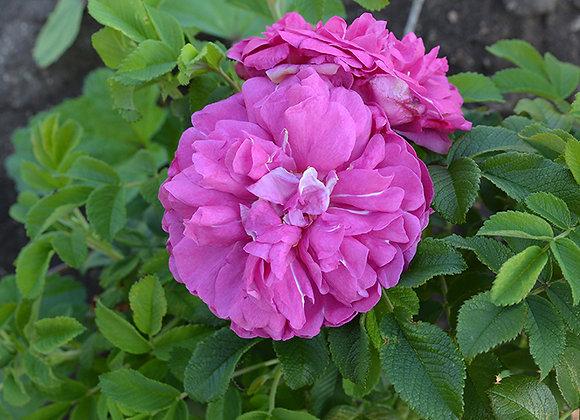 Роза Karefri Vonder