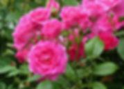3 Роза Морден Сентенниал.jpg