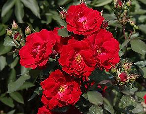 3 Роза Сhamplain.jpg