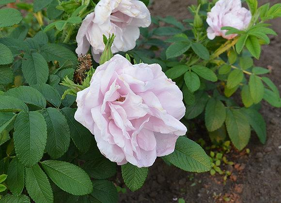 Роза Luiza Bagnet