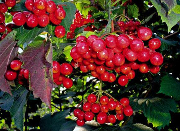 Калина красная плодовая