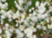 альба плена(сакура).jpg