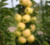 колоновидная яблоня медок.jpg
