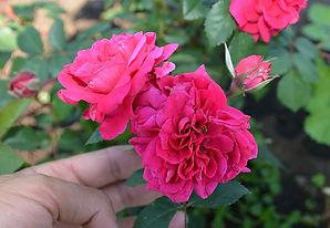 3 Роза Кримсон Винтер дДжевел.jpg