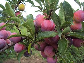 абрикосовая.jpg