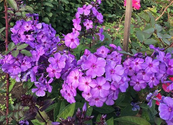 Флокс Фиолетовый рай
