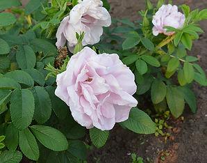 3 Роза Луиза Багнет.jpg