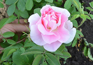 3 Роза Мартин Фробишер.JPG