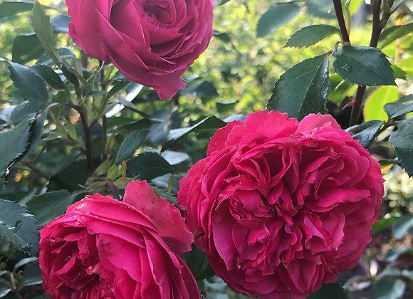 Роза Crimson Winter Jewel