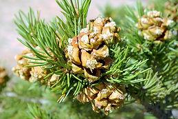 Pinion Pines