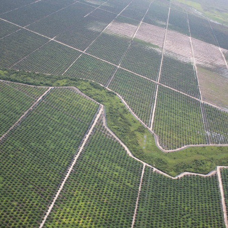 Palm Oil: The supercrop that killed the forests of Southeast Asia