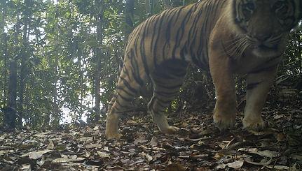 Sumatran_tiger_caught_on_camera_trap_in_