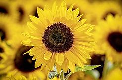 sunflower-3790834_640.jpg