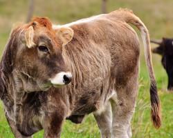 Eastern NC Livestock Vet - Cows