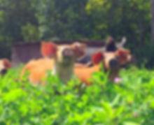 pigs at Linton Pasture pork farm