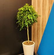 Ficus Bola 2.00m Vaso Branco