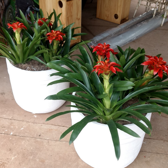 Bromelias Vermelha - Vaso Cimento Branco