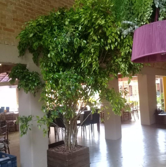 Ficus 3.00m - Vaso Madeira