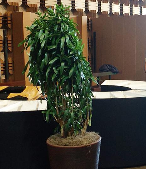Pleomele Verde - Vaso Conico Marrom