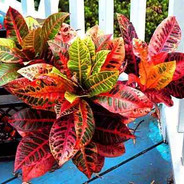 Croton Vermelho