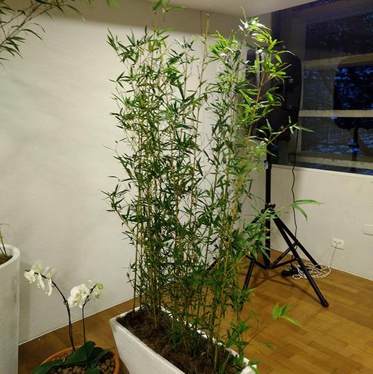 Bambu jardim 1.60m