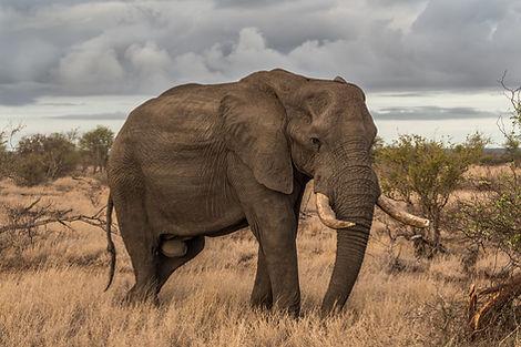 Elefante en salvaje