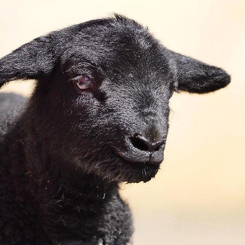 Mischpaket Lamm
