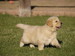 Golden Retriever Puppy in the yard
