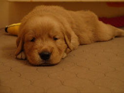Golden Retriever Puppiesfor Sale AZ