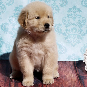 GoldenRetriever Puppy