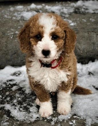 simba wasatch pup.jpg