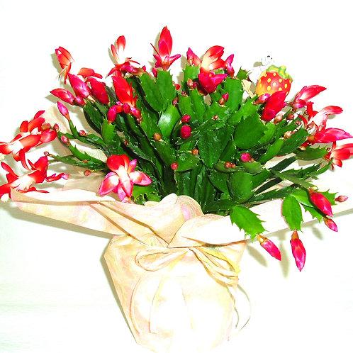 シャコバサボテン(花はち)