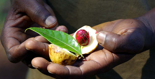 Spice-Tour-in-Zanzibar-fresh-nutmeg-afri